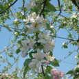青空とりんごの花