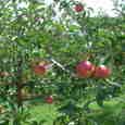 色づくりんご