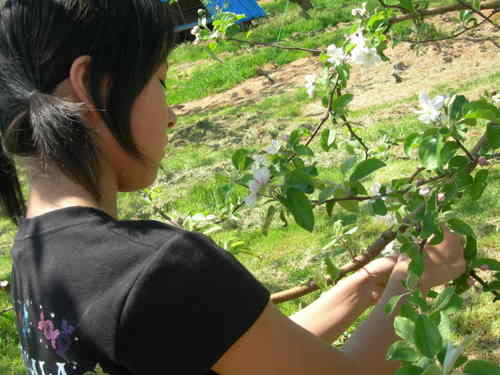 リンゴの花摘み