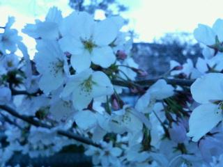 雨上がりの桜