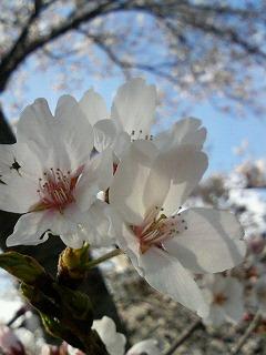 桜、いつもの場所で