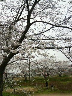 桜とつくし採り