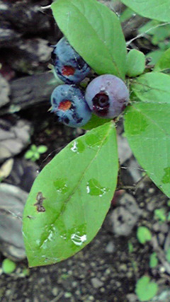 ブルーベリー、収穫